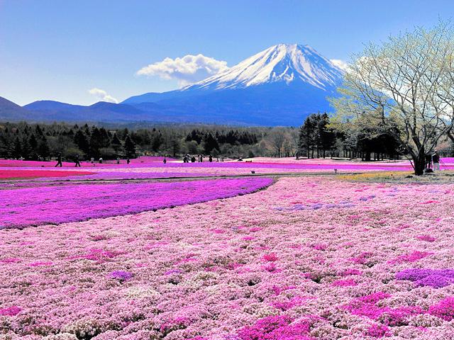 Fuji shibazakura 05