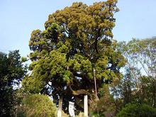 城願寺のビャクシン
